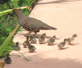 Baby Quail and Mama